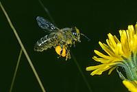 """im Anflug auf Korbblütler mit """"Pollenhöschen"""""""
