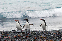 Feather in theirs caps ... they are the Macaroni's - Royal penguins at Sandy Bay Macquarie Island