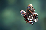Robin Moth, Hyalophora cecropia, USA, America's largest silkmoth, Saturniidae, in flight, flying, high speed photographic technique
