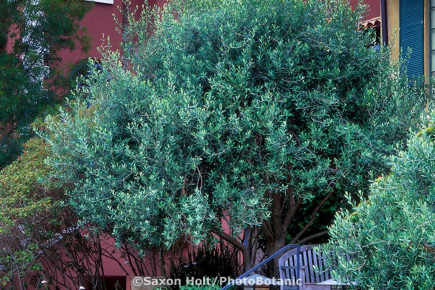 Olea europaea 'Majestic Beauty'i (Olive Tree) in home landscape