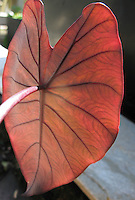A red kalo (or taro) with light shining though, Big Island.