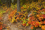 Idaho, Bonners Ferry.  Fall colors on a trail at Brush Lake in north Idaho