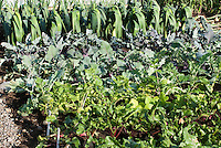 Leeks 'Sammy Cross, kohl rabi 'Kalibri', beets growing in vegetable garden