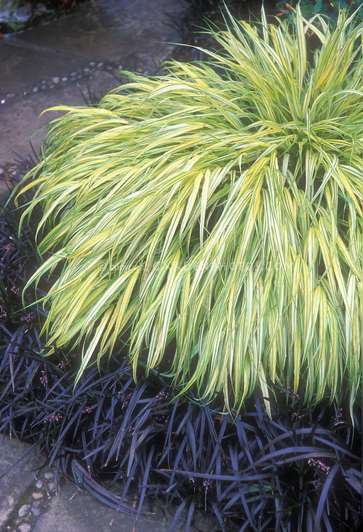 Hakonechloa macra 39 aureola 39 ophiopogon plant flower for Oriental grass for shade