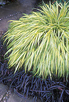 Hakonechloa macra 'Aureola' & Ophiopogon Nigrescens ornamental grasses in yellow and black together contrasting