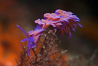 A violet nudibranch or sea slug (Flabellina affinis) feeding on hydroids<br /> France: Corsica, Lavezzi Archipelago, Passage du Cavallo, 'Turtle Rock'