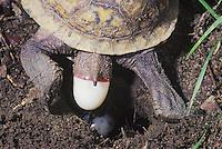 Eastern Box Turtle (Terrapene carolina carolina), female laying eggs, Raleigh, Wake County, North Carolina, USA