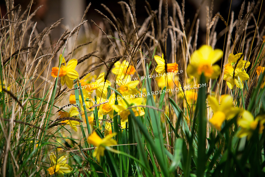 Df028301 garden flower daffodils grass for Ornamental grass with yellow flowers