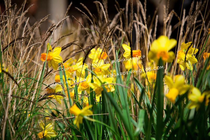 Df028301 garden flower daffodils grass for Ornamental grass yellow