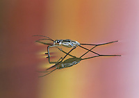 Pondskater or Water Strider with prey