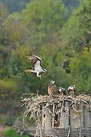 Osprey bringing food to fledged juveniles on Multnomah Channel bordering Sauvie Island, Oregon