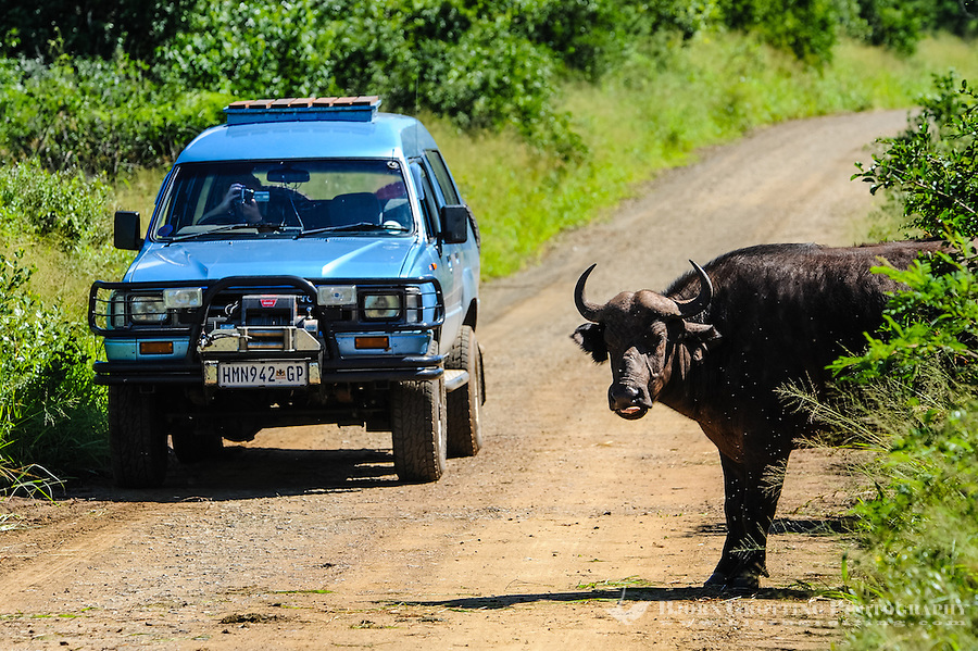 African buffalo in the Hluhluwe-Umfolozi Game Reserve, South Africa. Crossing the road.