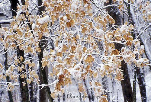 Dark trunks of oak trees in winter with yellow brown leaves covered with snow