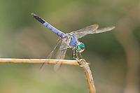 339900020 a wild male blue dasher dragonfly pachydiplax longipennis perches on a dead plant stalk at five mile landing in topock marsh havasu national wildlife refuge arizona united states
