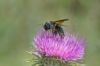 321000002 a wild female western carpenter bee xylocopa californica feeds on a new mexico or desert thistle cirsium neomexicanum at empire creek in las cienegas natural conservation area pima county arizona