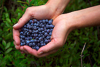Algonquin Park, Ontario, Canada, July 2006. Wild blueberries make good ingredients for breakfast pancakes. The Algonquin Provincial Park consists of many lakes that can be explored by canoe and which are connected by portages. Photo by Frits Meyst/Adventure4ever.com