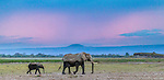 African elephant and calf on the move, Amboseli National Park, Kenya
