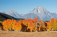 Mt Moran in Grand Teton National Park with colorful aspens in foreground