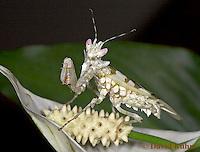 "0223-07pp  Spiny Flower Mantis (#9 Mantis) - Pseudocreobotra wahlbergii ""Female"" - © David Kuhn/Dwight Kuhn Photography"