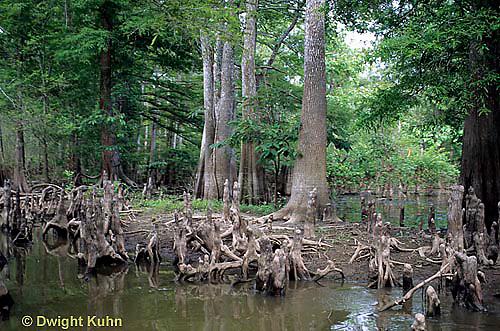 BS06-010z  Louisiana Swamp, cypress trees, Atchafalaya Swamp