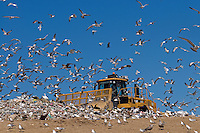 Heavy equipment at the dump with seagulls scavenging.