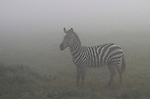 Plains Zebra (Equus quagga) in early morning fog.Serengeti National Park, Tanzania.