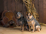 Australian Cattledog in the studio<br /> <br /> <br /> <br /> <br /> <br /> <br /> Shopping cart has 3 Tabs:<br /> <br /> 1) Rights-Managed downloads for Commercial Use<br /> <br /> 2) Print sizes from wallet to 20x30<br /> <br /> 3) Merchandise items like T-shirts and refrigerator magnets