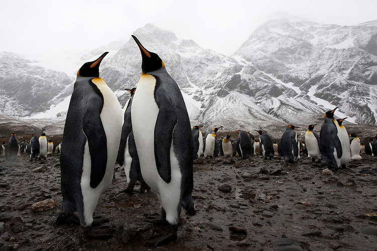 A pair of King Penguin (Aptenodytes patagonicus) in front of a large colony , Fortuna Bay, South Georgia landscape visible in background