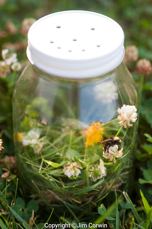 Glass Jar with trapped bumblebee inside in backyard summer fun.