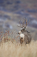 Trophy mule deer buck in Colorado