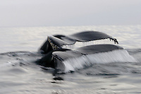 Humpback whale tails on foggy Monterey Bay - Megaptera novaeangliae