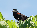 A nesting Red Winged Black Bird rests in a tree with insects to feed its offspring.
