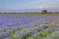 Along a dirt road in the vicinity of Highway 290 east heading towards Houston, I found this field of bluebonnets with an old red barn in a very Texas-looking landscape. Now, I cannot remember the exact location. Hopefully I'll stumble across this iconic location of Texas wildflowers again one of these springs.