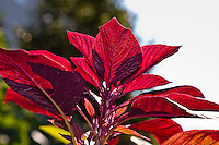 Red leaf Amaranth