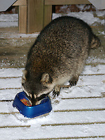 Wild raccoon eating cat food on snow-covered deck, Saline County, Arkansas