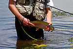 IDAHO.  Silver Creek. Boy Fishing with large trout. MR. Rainbow Trout