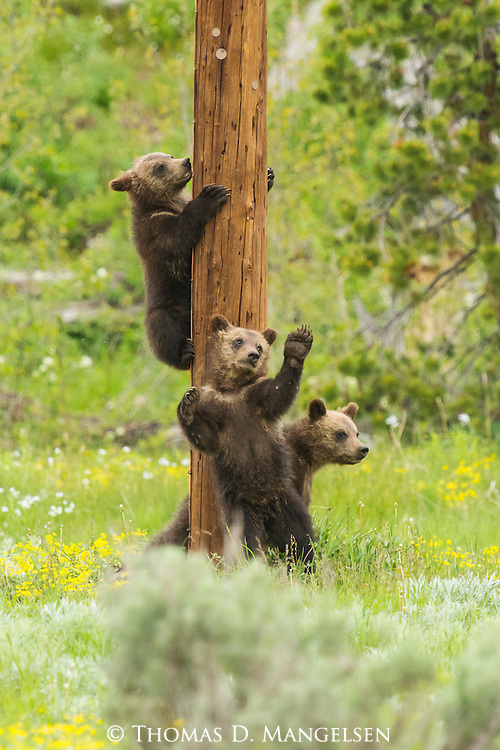 Three grizzly bear cubs play on a pole in Grand Teton National Park, Wyoming.