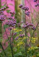 Close-up view of Verbena bonariensis flowers and a pink wall in the background