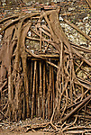 Banyan Roots in Anping's Treehouse, Tainan, Taiwan