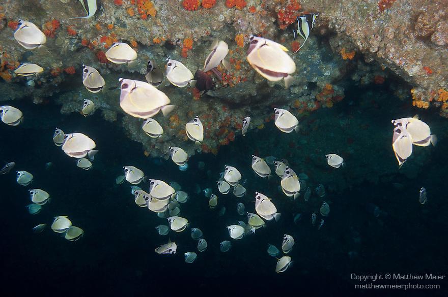 Cocos Island, Costa Rica; a school of Barberfish (Johnrandallia nigrirostris) swimming upside down along the roof of a large underwater sea cave