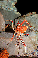 Japanese Spider Crab or Giant Spider Crab (Macrocheira kaempferi) adult on rock.