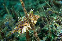 A cowfish hiding amongst algae and sponges, Ambon, Indonesia.