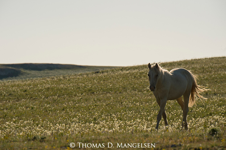 A wild horse walks in a field of wildflowers in the Pryor Mountains, Montana.