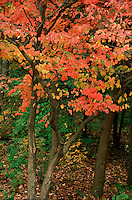 FALL FOLIAGE East Coast<br /> In the autumn, trees stop photosynthesis. As the green chlorophyll disappears from the leaves, yellow, orange and red become visible.