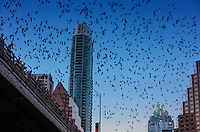 The Ann W. Richards Congress Avenue bridge in downtown Austin is the spring and summer home to some 750,000 bats with up to 1.5 million bats at the peak of the bat-watching season. It's the largest urban bat colony in North America.