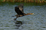 Cormorant Takeoff Double-crested Cormorant Sepulveda Wildlife Refuge Southern California