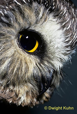 OW02-217z  Saw-whet owl - showing eyes and beak - Aegolius acadicus