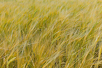 Barley cereal crop, Oxfordshire, The Cotswolds, UK