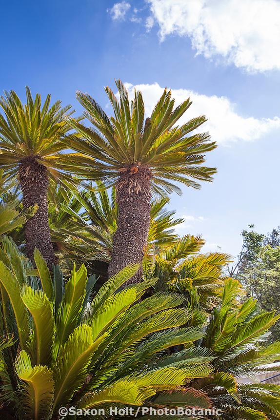 Chilean Wine Palm tree (Jubaea chilensis)