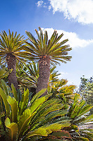 Chilean Wine Palm tree (Jubaea chilensis)